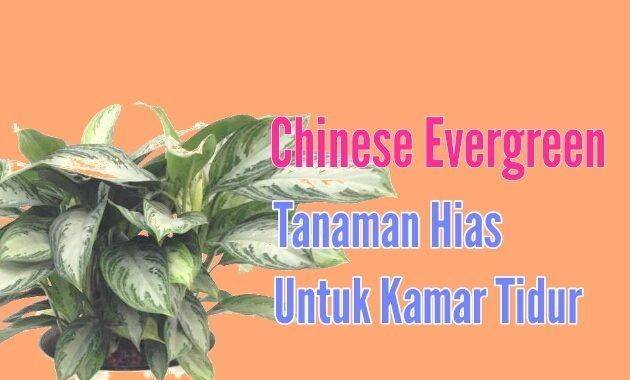 Aglaonema Chinese Evergreen tanaman hias untuk kamar tidur pembersih udara alami