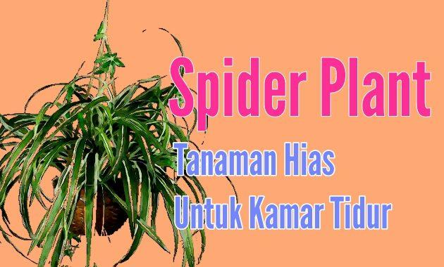 Spider Plant Cocok untuk tanaman hias kamar tidur