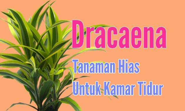 dracaena tanaman hias untuk kamar tidur
